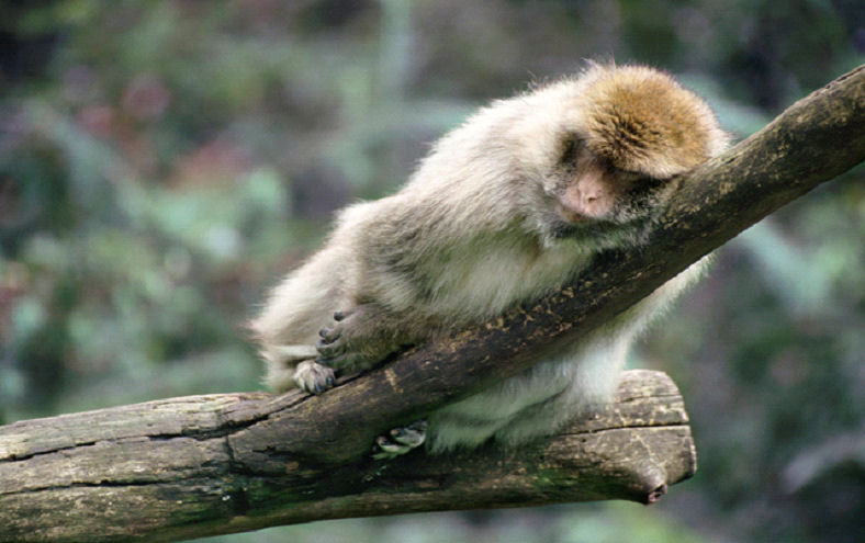 Sleeping monkey